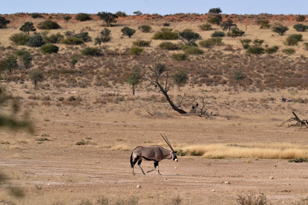 Don't always zoom into your photos. This image tells a bigger story due to the surroundings showcasing the area, in this case the very dry Kgalagadi Transfrontier Park in South Africa