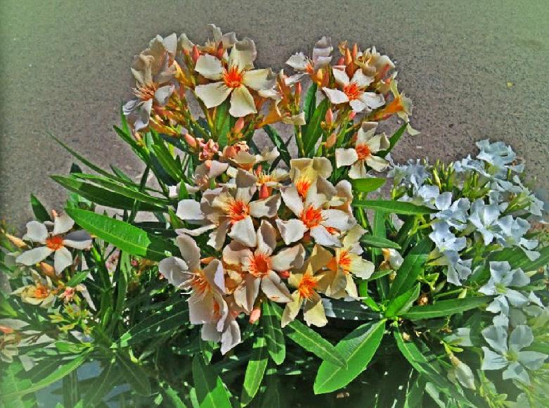 italy-6-flowers